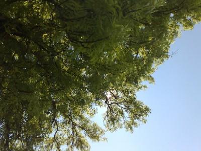 Träd i Gamlis