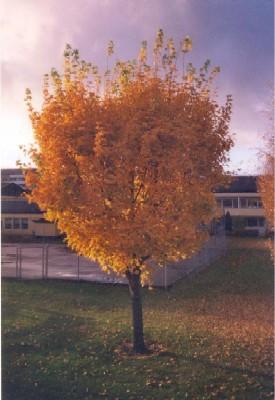 Trädet som inte längre finns