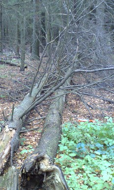 fallna träd