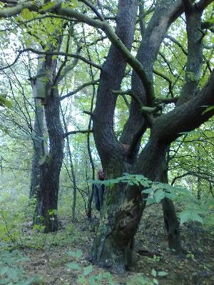 mörka träd