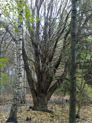 tjockt träd
