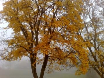 gult träd i dimma