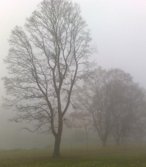 2 Träd i dimma