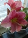 1 Blommande Amaryllis fr Anna
