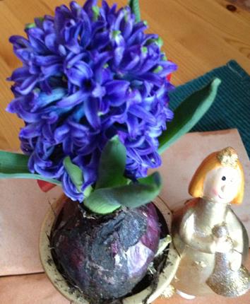 Blå hyacint nära
