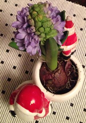 Blå hyacint på väg att slå ut