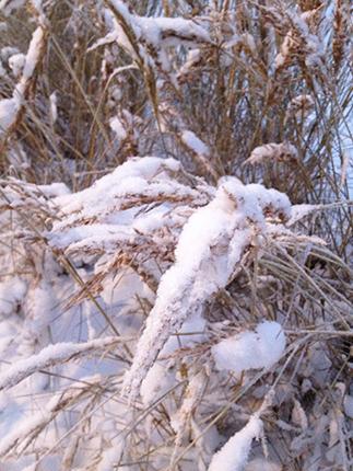snö i det höga gräset