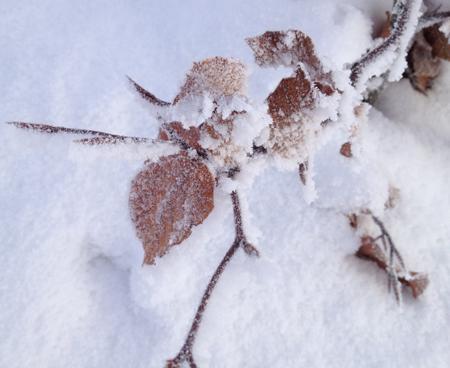 snöig och frusen gren med löv