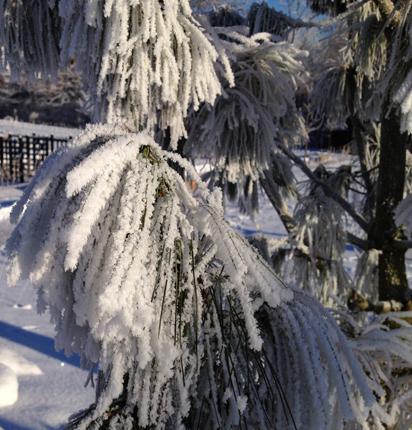Snöigt barrträd nära