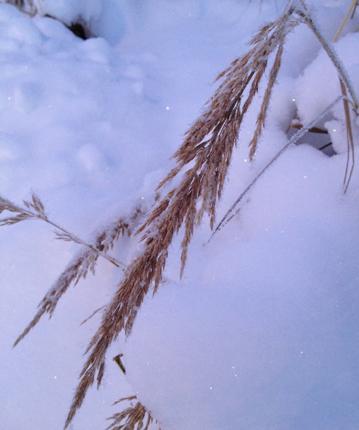 Snöigt böjt långt gräs