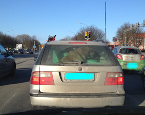 Stor hund i bil