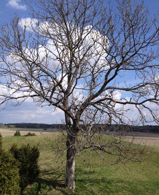 Ett jättegammalt träd