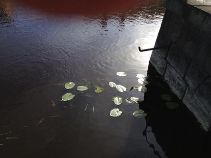 Näckrosor vid ån