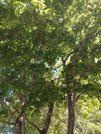 Grönskande träd