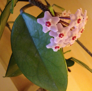 Porslinsblomma blommande