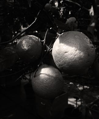 Citroner sv v