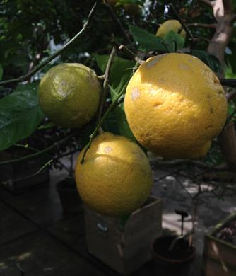 Citroner. Nu fick de lite färg...