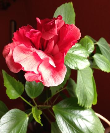 Min hibiscus