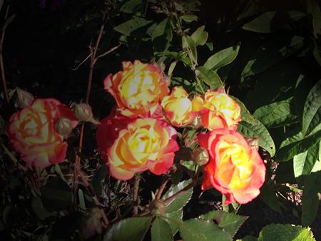 Gula o orange rosor