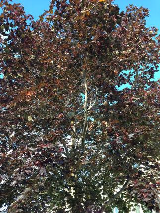 Ett träd m röda löv blå himmel skymtar