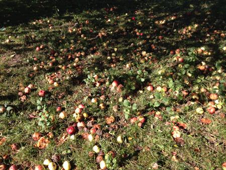 Fallfrukt äpplen