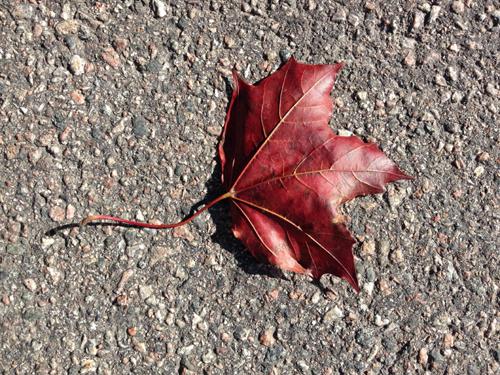Rött lönnlöv på asfalt