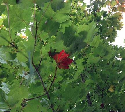 Rött lönnlöv bland gröna i träd