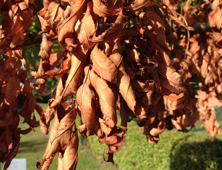 Terrakottafärgade löv i ett träd