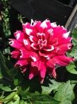 Röd och vit blomma
