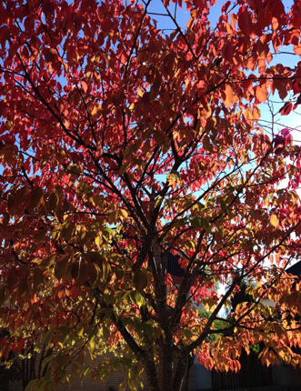 Höstträd i rött
