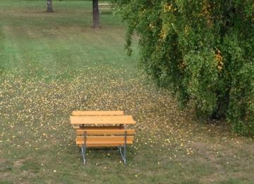 Bänkar på gräsmatta vid björk och fallna löv