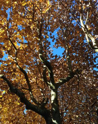 Gult träd underifrån