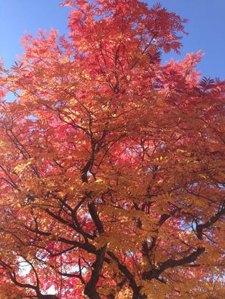 Höstträd rött