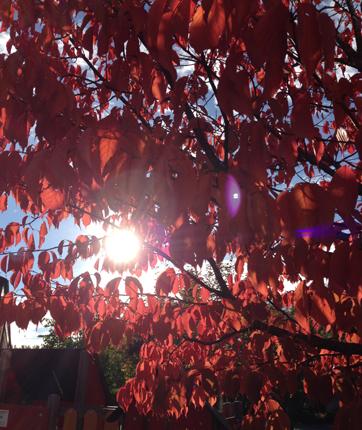 Solen genom röda löv