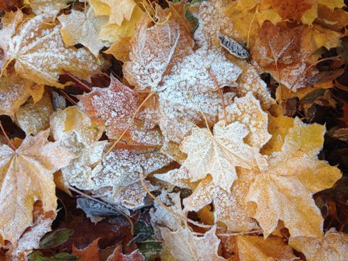 Frostiga lönnlöv