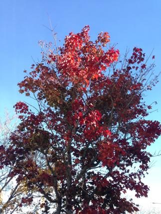 Mörkrött träd mot blå himmel