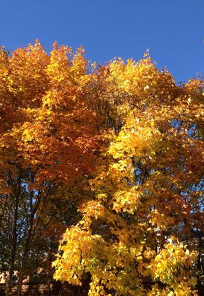 Gult träd o blå himmel