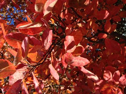 Röd buske
