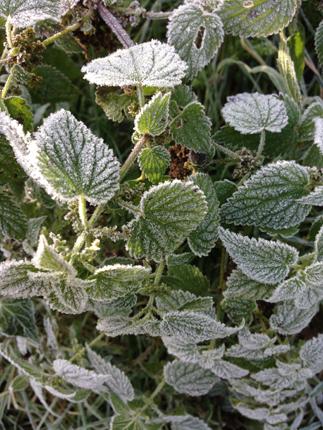 Frostnupna gröna små blad