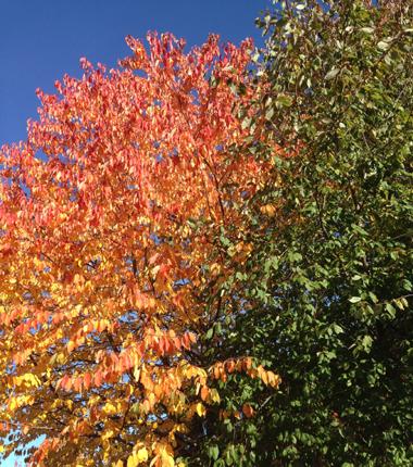 Gulrött träd o grönt träd