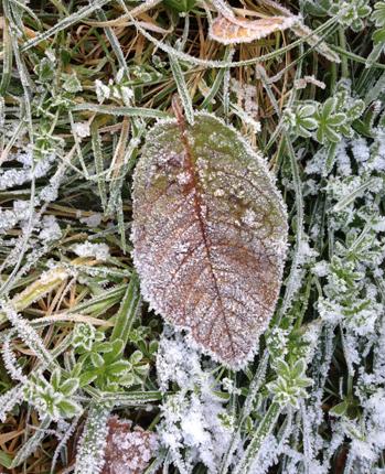 Frostnupet brunt löv och gräs