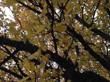 Höstträd gult och svart