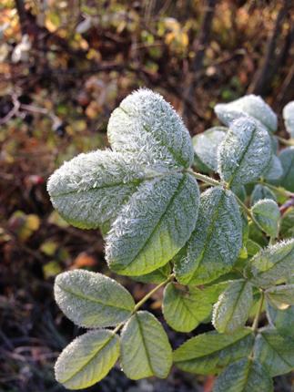 Frostiga små gröna blad