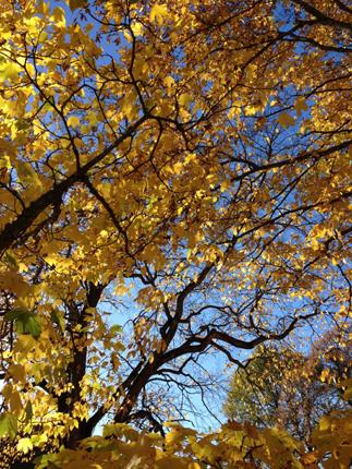 Gult träd o grenverk i Gamlis