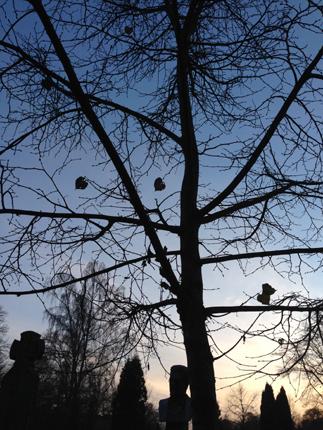 Träd på Gamla kyrkogården i skymning