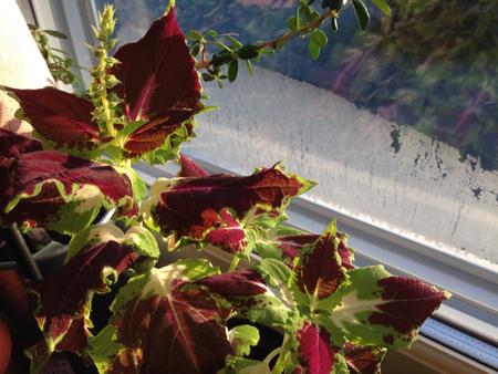 Palettblad och is på fönstret