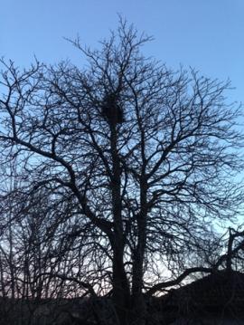 Träd med fågelbo i skymningen