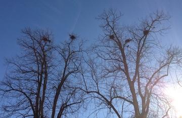 Fågelbon i träd mot blå himmel