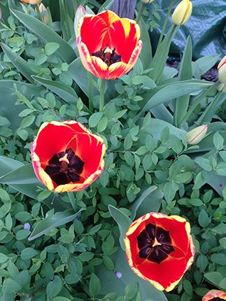 Tulpaner röda med gul kant