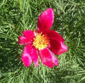 Röd blomma i Slottsträdgården